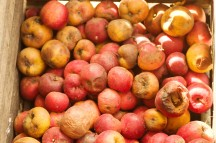 rotten apples canstockphoto14255526 (2)