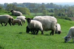 sheep-on-hillside