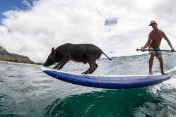 surfing-pig