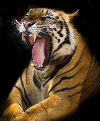 tiger canstockphoto21631942 (2) (800x800)
